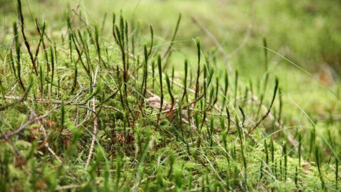 Mos i græsplænen er et kendt problem
